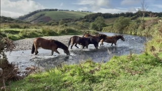 The annual round up of wild ponies on the moor.